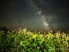 Sunflower Milky Way